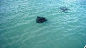 Gibbs Cay, Grand Turk, Turks and Caicos - Stingray tour
